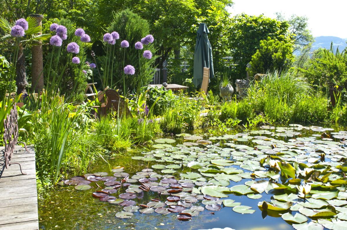 Seerosen Im Gartenteich