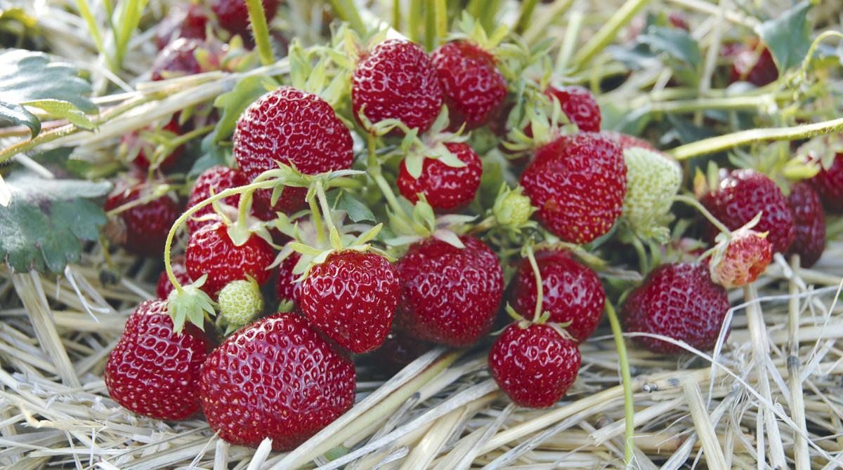Erdbeeren Im Heu