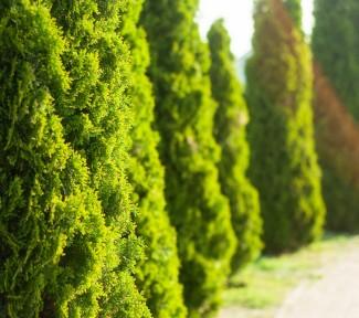 Thujahecke pflanzen – das müssen Sie beachten